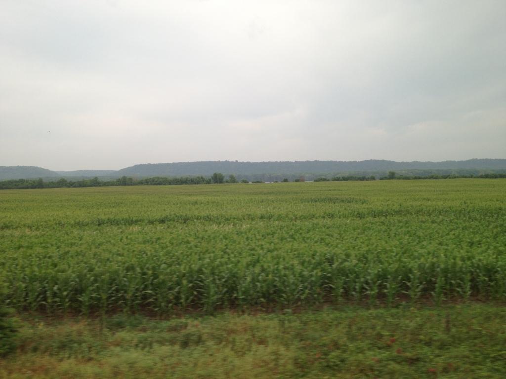green fields of corn (maize)