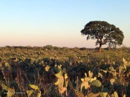 cattle in cactus
