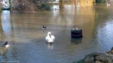 Thames bin swans