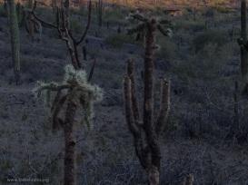 Fraggle cacti