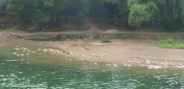 animals Guilin 68 cropped Li river cruise 37