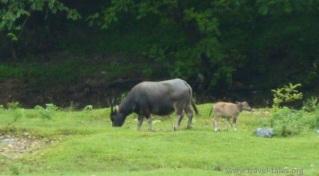 animals Guilin 81 cropped Li river cruise 50 buffalo