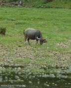 animals Guilin 82 cropped Li river cruise 51 buffalo