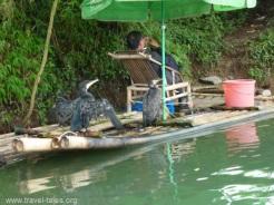 Guilin 145 cormorant fischer