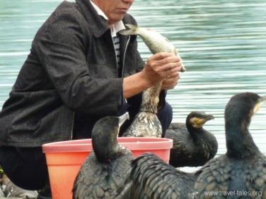 Guilin 148 regurgitating a fish