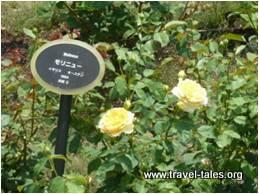 24-rose
