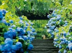 28 blue hydrangeas from travelicence